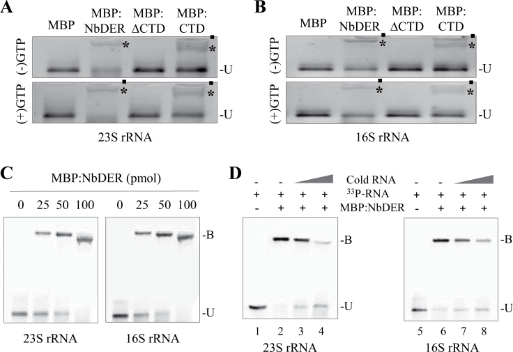 Binding of recombinant NbDER and its variants to 23S and 16S rRNA. (A, B) MBP:NbDER, MBP:∆CTD, and MBP:CTD fusion proteins (75 pmol) were incubated with 200ng of 23S (A) or 16S rRNA (B) in the absence or presence of GTP (100 μM); bound (asterisks) and unbound (U) RNAs were resolved on an agarose gel and visualized by ethidium bromide staining; filled circles indicate the wells of the agarose gel. (C) Increasing concentrations (25, 50, and 100 pmol) of MBP:NbDER fusion proteins were incubated with radiolabelled 23S and 16S rRNAs; bound (B) and unbound (U) RNAs were resolved on an agarose gel and radioactive RNA bands were visualized by PhosphorImager. (D) Gel-mobility shift assays were performed with or without cold competitors; 25 pmol MBP:NbDER fusion protein were incubated with different ratios of radiolabelled and unlabelled 23S and 16S rRNAs; the ratios of radiolabelled RNA:unlabelled RNA are as follows: 1:5 (lane 3), 1:20 (lane 4), 1:5 (lane 7), and 1:20 (lane 8).