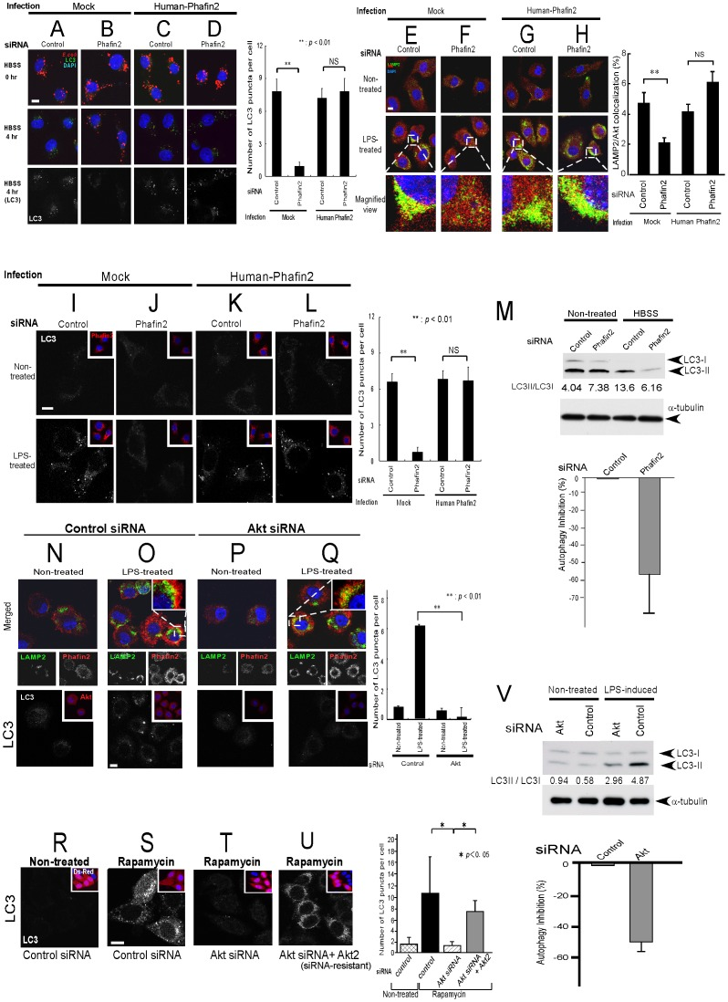Presence of both Akt and Phafin2 are required for induction of autophagy. A–D . Phafin2-siRNA transfected macrophages showed no inhibition on initial uptake of fluorescent bacteria ( A–B , top panels). However, after HBSS treatment to induce autophagy, Phafin2-siRNAs transfected cells inhibited not only elimination of fluorescent bacteria ( A–B , middle panels), but also induction of autophagy ( A–B , bottom panels), which is reversible by re-introduction of human Phafin2 ( C–D , bottom panels). Note that human Phafin2 is resistant for mouse Phafin2-siRNA. Quantification of LC3 puncta per cell with statistical analysis by Student's t -test is shown on the right side. White scale bar represents 10 µm. E–H . Using J774.1 murine macrophages, LPS-induced lysosomal accumulation of Akt was eliminated by Phafin2-siRNAs ( E–F ), which is associated with inhibition of autophagy ( I–J , lower panels). The observations are reversible by re-introduction of human Phafin2 ( G–H and K–L , lower panels). Quantification of the percent of colocalization area of Akt with LAMP2 with statistical analysis by Student's t -test is shown on the right side. I–L . Phafin2-siRNA transfected macrophages inhibited LPS-induced autophagy determined by LC3 pancta with Phafin2 expression shown in inset (bottom panels, compare I and J ). Inhibition of autophagy by Phafin2-siRNAs can be reverted by re-introduction of human Phafin2, which is resistant for mouse Phafin2-siRNA (bottom panels, compare K and L ). Quantification of LC3 puncta per cell with statistical analysis by Student's t -test is shown on the right side. M . LC3 immunoblot by the introduction of Phafin2-siRNA were shown. The percentage of autophagy inhibition out of three independent experiments was 53.3±21.4%. N–Q . Akt-siRNA ( fig. S5 ) transfected macrophages retained LPS-induced lysosomal translocation/accumulation of Phafin2 (upper panels). Akt-siRNA, however, inhibited LPS-induced autophagy determined by LC3 pancta with Akt expres