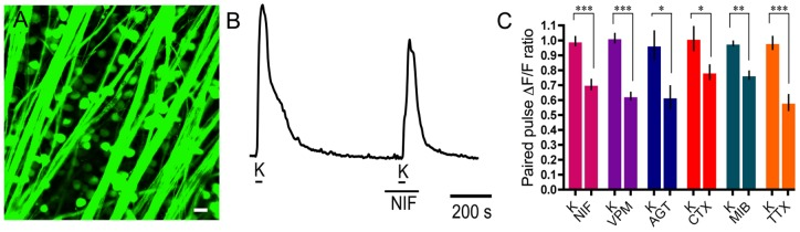 Many VGCC subtypes contribute to calcium signalling in ganglion cell bodies. A. Fluo-4 labelling of RGC somata in the wholemount retina. Scale bar is 20 µm. B. Application of nifedipine (NIF; 10 µM), an L-type Ca channel antagonist, reduced the second high K + -evoked calcium signal. C. Summary of Ca 2+ imaging results in RGC somata showing the following changes in paired pulse Ca 2+ signal in response to drugs (applied during the second K + pulse) compared to their control paired K + pulses (K): 10 µM nifedipine (29%±7%; p = 0.0003; n = 20), 100 µM verapamil (VPM; 39%±5%; p