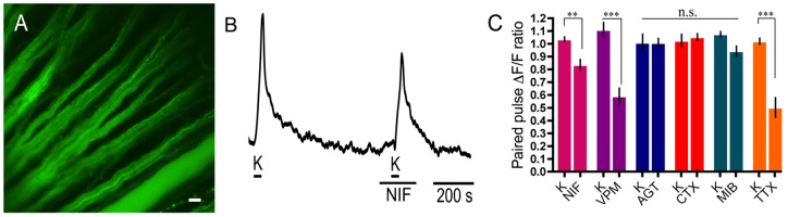 L-type VGCC subtypes contribute to calcium signalling in ganglion cell axons. A. Fluo-4 labelling of RGC axons in the wholemount retina. Scale bar is 20 µm. B. Application of nifedipine (NIF; 10 µM), an L-type Ca channel antagonist, reduced the second high K + -evoked calcium signal. C. Summary of Ca 2+ imaging results from RGC axons showing the following changes in paired pulse Ca 2+ signal in response to drugs (applied during the second K + pulse) compared to their control paired K + pulses (K): 10 µM nifedipine (20%±6%; p = 0.0053; n = 12), 100 µM verapamil (VPM; 52%±9%; p