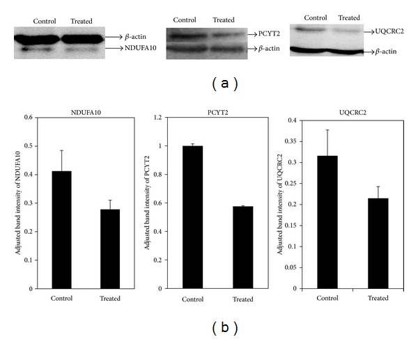 Western blot analyses of NDUFA10, PCYT2, and UQCRC2 of HepG2 cells. (a) Western blot cropped images of NDUFA10, PCYT2, UQCRC2, and beta actin bands detected by antisera against the respective proteins; (b) densitometry analyses of Western blot using ImageJ software. Assay was done in triplicate and data are represented as mean ± standard deviation.