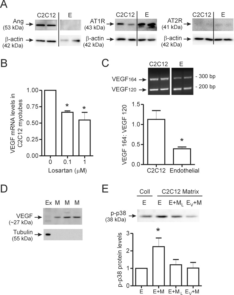 Contribution of endogenous Ang II to muscle VEGF production and endothelial cell-muscle cell crosstalk. C2C12 myotubes and confluent cultures of microvascular endothelial cells were lysed, and endogenous basal levels of angiotensinogen, AT1R and AT2R were assessed by Western blot analysis (A). In all blots, two independent cultures are shown for each cell type. C2C12 myotubes (n = 3 per condition) were treated overnight with the AT1R inhibitor Losartan (0.1 µM or 1 µM) and VEGF transcript levels were assessed by qPCR (B). Representative image and the quantification of RT-PCR analysis of VEGFA isoform expression (VEGF 120 ∼170 bp; VEGF 164 ∼300 bp and VEGF 180 = not detected) in C2C12 myotubes and skeletal muscle endothelial cells (C). Two independent samples are shown for both C2C12 and endothelial cells (n = 6 for C2C12 and n = 13 for endothelial cells). Lysates of matrix bound proteins were assessed for VEGF and tubulin protein expression by Western blotting (D). Cell extract (Ex) was used as a comparator with extracts of matrix (M) alone. Three independent samples of matrix-associated protein extracts are shown. Tubulin was detectable within cell extract, but not in matrix-derived extracts. In (E), endothelial cells alone or previously treated with an inhibitor of the VEGFR2, were incubated on matrix which previously contained C2C12 myoblasts with or without losartan treatment. Representative image and quantification of phosphorylated p38 levels (n = 6 for E and E+M, n = 5 for E+M L and n = 4 for E V +M). Values are presented as mean ± SEM. One way ANOVA followed by Tukey's multiple comparison test and student's t-test were used to assess statistical significance which was set as p