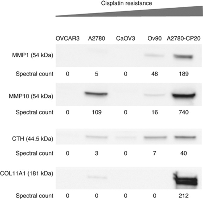 Immunoblotting verification of selected target secretome proteins. MMP1, MMP10, CTH and COL11A1 were selected for validation by western blotting in EOC secretome.