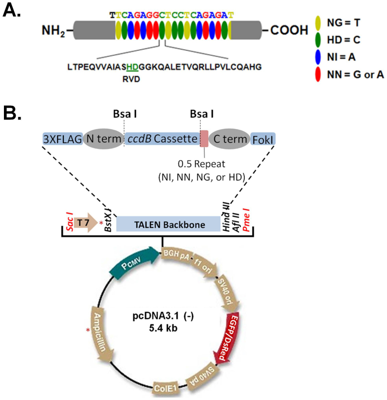 Our improved TALENs system. (A) Schematic view of the TALEN structure with the DNA-binding modules highlighted. Each DNA-binding module consists of 34 amino acids, where the RVDs in the 12th and 13th amino acid positions of each repeat specify the DNA base being targeted according to the cipher NG = T, HD = C, NI = A, and NN = G or A. (B) The TALENs system we have improved. A widely-used plasmid backbone, pcDNA3.1(−), was chosen for the TALEN vector. The red asterisks indicate where the BsaI sites were in the original pcDNA3.1(−) plasmid. They have been destroyed by mutagenesis. The original neomycin-resistant gene was replaced by a gene encoding EGFP or DsRed. The TALEN coding sequence and an adjacent upstream T7 promoter can be isolated by digesting the construct with SacI and PmeI (in red) as a template for in vitro transcription of TALEN mRNAs.