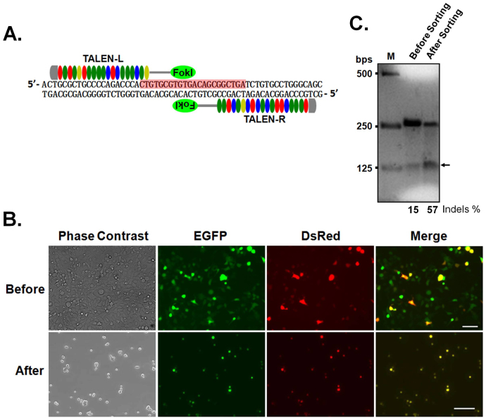 Enrichment of SKOV3 cells transfected with both TALEN constructs. (A) Schematic view of TALENs that target human miR-210. The highlighted region indicates 22 nucleotides of mature miR-210 sequence. (B) Top panel, transfected SKOV3 cells before FACS. Approximately 50% and 20% of cells were transfected with a TALEN-L construct encoding EGFP and a TALEN-R construct encoding DsRed, respectively. Bottom panel, SKOV3 cells plated right after FACS. All cells are labelled by both EGFP and DsRed. Size of the bar, 100 μm. (C) Surveyor assay of DNA extracted from SKOV3 cells before and after FACS. The numbers at the bottom of the gel indicate mutation percentages measured by band intensities. Genomic editing is enhanced 3.8-fold following cell sorting.