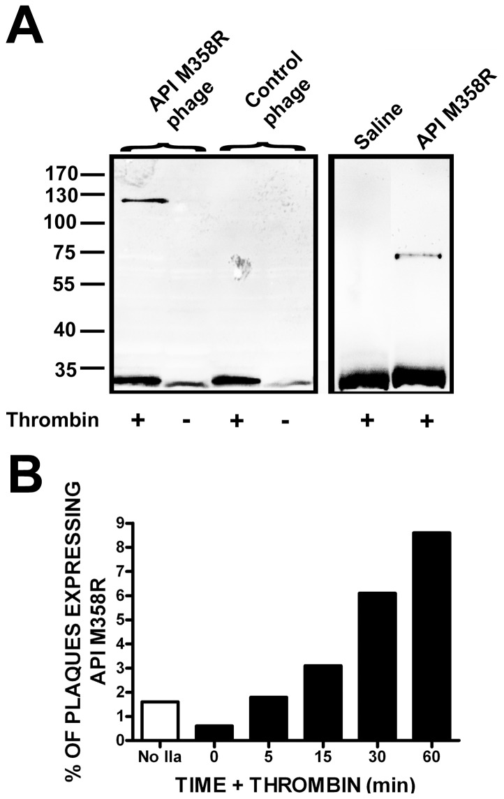 """Reactivity of T7 10B-API M358R fusion proteins displayed on intact phage with thrombin and time course of enrichment of API M358R-expressing phage by exposure to thrombin. Panel A: 1×10 10 pfu of purified T7Select10-3b API M358R (API M358R phages) and T7Select10-3b S-tag phages (Control phage) were separately reacted with (+) or without (−) 20 nM thrombin. Reactions were solubilized with SDS, electrophoresed on SDS-polyacrylamide gels under reducing conditions, immunoblotted, and probed with an affinity-purified sheep anti-thrombin antibody. Molecular weight marker positions, in kDa, are indicated to the left of the figure. The left panel represents four contiguous lanes of a single immunoblot. The right panel shows the reaction of 20 nM thrombin with 8.5 nM purified, soluble API M358R or saline controls; both lanes were derived from the same immunoblot but were not contiguous on the original image. Panel B: T7Select10-3b API M358R phages and T7Select10-3b S-tag phages were combined 1:100 and reacted with 0.5 nM thrombin for times shown on the x axis, prior to biopanning with biotinylated anti-thrombin IgG and streptavidin-linked magnetic beads. Washed beads were used to infect E. coli and aliquots of the resulting lysates used to form plaques on agarose/agar plates. Nitrocellulose plaque lifts were probed with anti-API antibodies to determine the percentage of immunoreactive plaques as a fraction of the total, shown on the y axis. """"No IIa"""" (open bar) refers to a sample from the original mixture of phages subjected to plaque assay directly, without biopanning."""