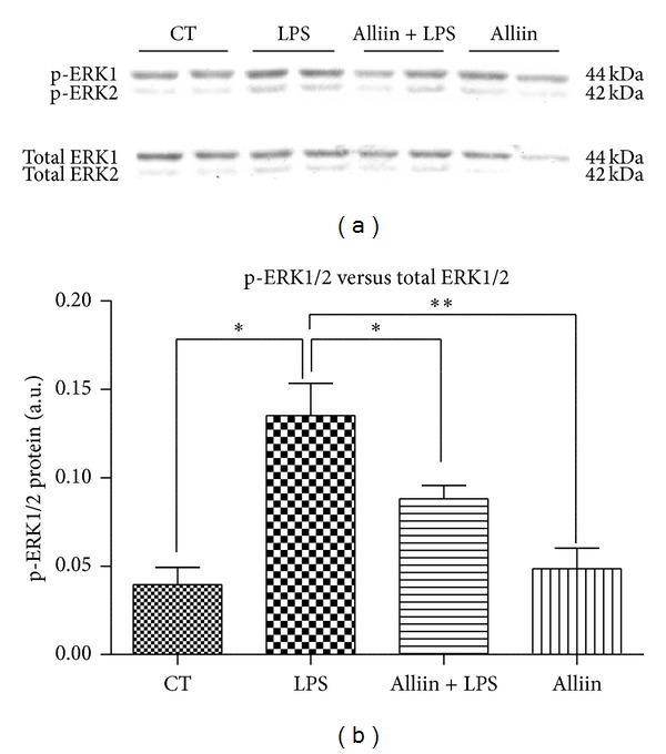 Levels of phosphoextracellular signal-regulated kinase <t>(ERK1/2</t> p44/p42) in mouse 3T3-L1 adipocytes. Cells were pretreated for 24 h with alliin 0.1 mM and subsequently exposed to 100 ng/mL of lipopolysaccharides (LPS) for 1 h afterward. (a) Representative Western blot with phospho-ERK1/2 and ERK1/2 antibodies; (b) protein levels of phospho-ERK1/2 and ERK1/2 in total cell extracts. CT control; AU arbitrary units. Data are expressed as mean ± standard deviations (SD) of three independent experiments * P ≤ 0.05; ** P ≤ 0.01.