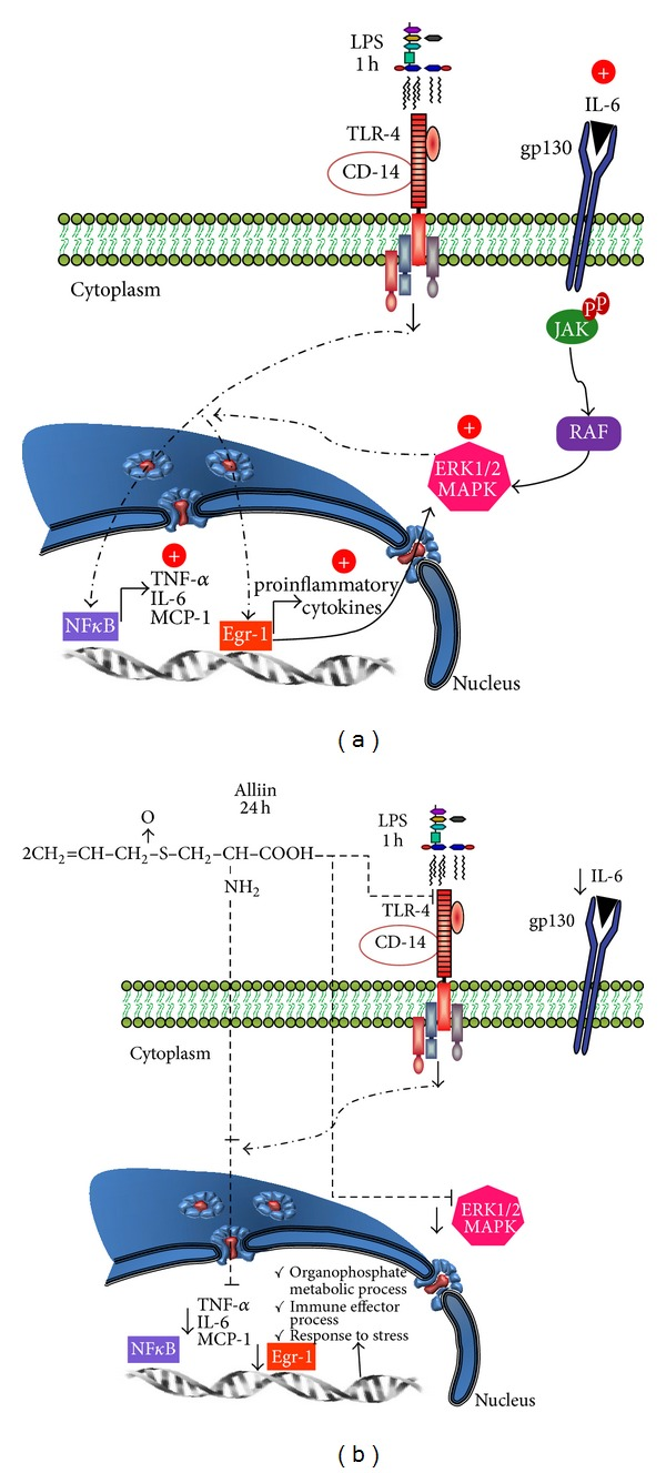 A proposal of how alliin could counteract the inflammatory state promoted by lipopolysaccharides (LPS) in 3T3-L1 adipocytes. (a) Activation of proinflammatory signaling pathway by lipopolysaccharides (LPS). (b) Alliin could reduce the Toll-like receptor-4 (TLR-4) pathway, possibly by diminishing the expression of related genes and proteins such as interleukin-6 (IL-6), monocyte chemostatic protein-1 (MCP-1), and early growth receptor-1 (Egr-1) and therefore regulates extracellular signal-regulated kinase (ERK1/2) activity.
