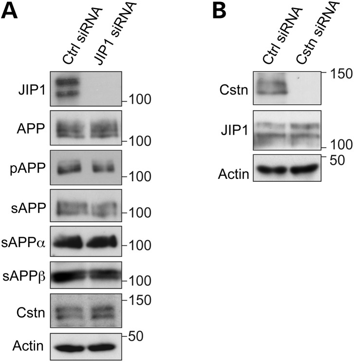 ( A ) siRNA knockdown of JIP1 does not affect <t>APP</t> processing or calsyntenin-1 levels in rat cortical neurons. Neurons were treated with control (Ctrl) or JIP1 mix siRNAs (JIP1) and the samples probed on immunoblots for full-length APP (APP), APP phosphorylated on <t>threonine-668</t> (pAPP), total sAPP, sAPPα and sAPPβ in conditioned media, and calsyntenin-1 (Cstn); actin is shown as a loading control. No significant changes in the levels of any of these proteins or phosphorylation of APP on threonine-668 were detected between control or JIP1-siRNA treated neurons (Student's t -test n = 3). ( B ) siRNA knockdown of calsyntenin-1 does not affect JIP1 protein levels. Neurons were treated with control (Ctrl) or calsyntenin-1 (Cstn) siRNAs and the samples probed on immunoblots for JIP1 and actin as a loading control. No significant changes in the levels of JIP1 were detected between control or calsyntenin-1 siRNA-treated neurons (Student's t -test n = 3).