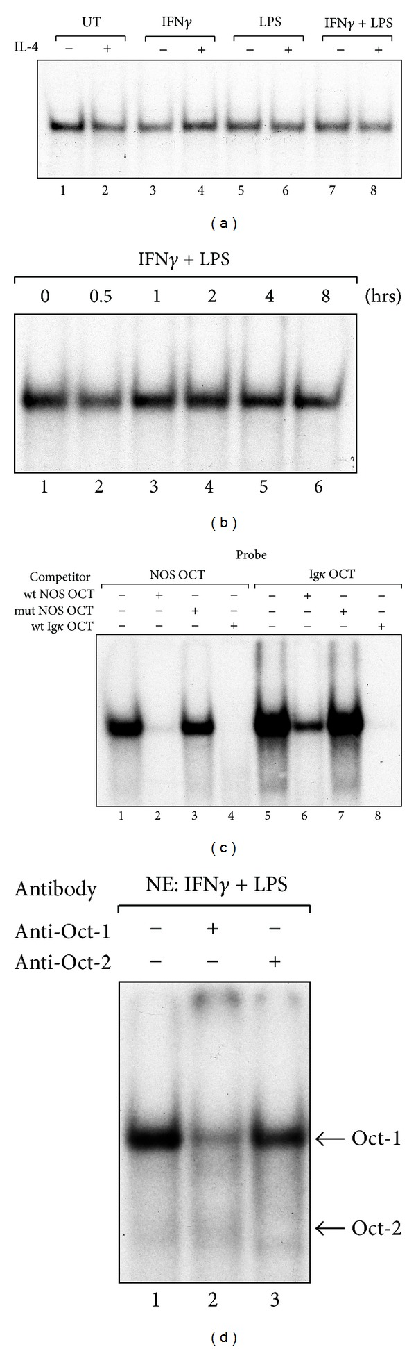 Analysis of OCT DNA-binding activity in nuclear extracts from RAW264.7 cells. (a) Effect of IL-4 treatment on OCT DNA-binding activity. RAW264.7 cells were treated with medium alone or IL-4 (10 ng/mL) for 30 min prior to stimulation with IFN γ (10 ng/mL) and/or LPS (100 ng/mL) for 4 hours before the preparation of nuclear extracts. The OCT binding activity was assessed by EMSA. (b) OCT DNA-binding activity in nuclear extracts from RAW264.7 cells treated with IFN γ and LPS. RAW264.7 cells were cultured in the presence of IFN γ (10 ng/mL) and LPS (100 ng/mL) for the indicated time prior to the preparation of nuclear extracts. In total, 10 μ g of each nuclear extract was analyzed for OCT binding activity by EMSA. (c) Analysis of OCT DNA-binding affinity to Nos2 OCT by an oligonucleotide competition assay. Nuclear extracts were prepared from RAW264.7 cells stimulated with IFN γ (10 ng/mL) and LPS (100 ng/mL) for 30 min. The OCT DNA-binding activity was determined by EMSA using radio-labeled OCT oligonucleotides corresponding to the Nos2 OCT (NOS OCT) site or the immunoglobulin κ chain OCT site (Igk OCT) in the presence or absence of a 25-fold excess of unlabeled wild-type (wt) or mutant (mut) oligonucleotide, as indicated. (d) Antibody super-shift assay for Nos2 OCT. Nuclear extracts (NE) from RAW264.7 cells stimulated with IFN γ (10 ng/mL) and LPS (100 ng/mL) for 30 min were incubated with the indicated antibodies (1 μ g each) before analysis of the binding activity, as described above.