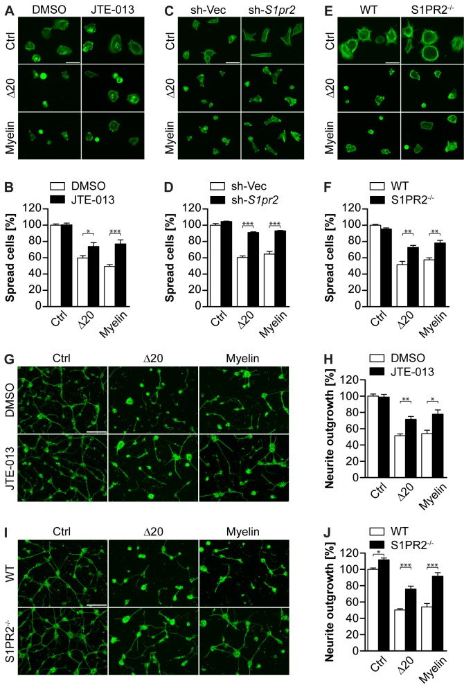 S1PR2 mediates Nogo-A-Δ20- and myelin-induced inhibition of cell spreading and neurite outgrowth. (A,C) Representative pictures of 3T3 fibroblasts treated with <t>JTE-013</t> or vehicle (DMSO) (A), or stably carrying a S1pr2 shRNA (sh- S1pr2 ) or empty vector (sh-Vec) construct (C) and plated on control, Nogo-A-Δ20 or myelin substrates. (B,D) Cell spreading quantification of (A) and (C). (E) Representative pictures of MEFs isolated from WT or S1PR2 −/− mice and plated on control, Nogo-A- Δ20, or myelin substrates. (F) Cell spreading quantification of (E). Cells were stained with Alexa488-conjugated Phalloidin in (A, C, and E). (G,I) Representative pictures of P5–8 cerebellar granule neurons treated with JTE-013 or DMSO (G), or isolated from S1PR2 −/− or WT mice (I) and plated on PLL (ctrl), Nogo-A-Δ20 or myelin substrates. (H,J) Normalized mean neurite length per cell quantification of (G) and (I). Neurons were stained with βIII-Tubulin in (G) and (I). Data shown are means ± SEM ( n = 3–6 experiments; * p
