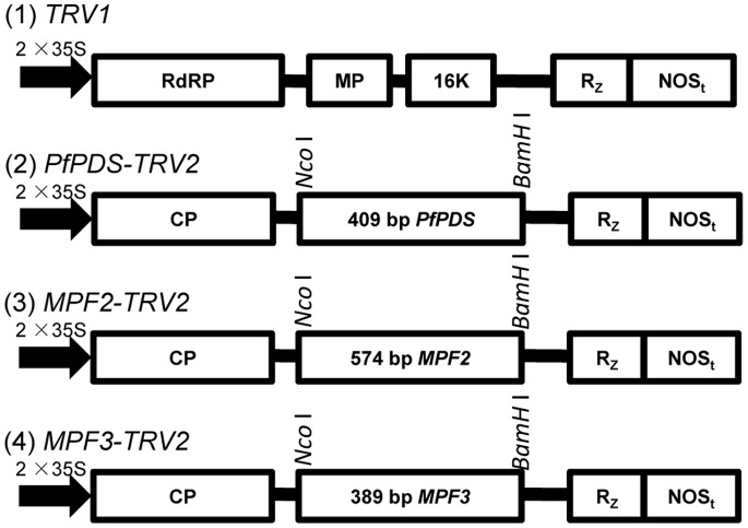 Organization of TRV-VIGS vectors. TRV cDNA clones were placed in between duplicated CaMV 35S promoters (2×35 S) and the nopaline synthase terminator (NOSt) in a T-DNA vector [22] . RdRp: RNA-dependant RNA polymerase; MP: movement protein; 16 K: cysteine rich protein; Rz: self-cleaving ribozyme; CP: coat protein. PfPDS- , MPF2-, and MPF3 -specific fragments were inserted separately into TRV 2 using Nco I and BamH I restriction sites.