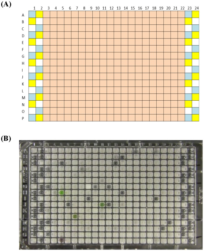 Representative result of high-throughput screening of BSH inhibitors. (A) Plate layout for screening BSH inhibitors. Pink boxes (columns 3–22) indicate test wells that contain library compounds of interest, BSH, and reaction mix containing substrate. Library compounds were shot into the well bottom using Echo 550/555 and enzyme and reaction mix were added using Multidrop Combi. Controls were added manually to the side wells (columns 1–2 and 23–24): blue boxes indicate activity controls (BSH, reaction mix containing substrate, and solvent DMSO), yellow boxes correspond to inhibition controls (BSH, reaction mix containing substrate, and NaIO 3 ), and white boxes are negative controls with no BSH added but include reaction mix as well as substrate. (B) The HTS results represented by one 384-well plate. Control wells indicate the assay proceeded normally. The wells in columns 3–22 that appeared clear, regardless of alternative color due to compound, and had low absorbance readings were considered hits (putative BSH inhibitors).