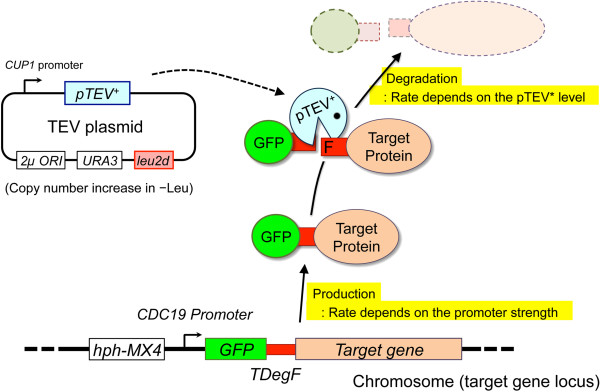 Scheme of TIPI-gTOW. We first constructed a strain in which the chromosomal target gene was replaced by a GFP- TDegF target construct. We next introduced the TEV plasmid, a plasmid for gTOW that encodes pTEV + expressed from the CUP1 promoter. According to the TIPI procedure, cleavage and rapid degradation of the GFP- TDegF target is induced by pTEV + . Using the gTOW procedure, in which the copy number of the TEV plasmid exceeds 100 under the -Leu condition, we can increase the expression of pTEV + , which accelerates the degradation of the GFP- TDegF target, reducing the level of the GFP- TDegF target. It is thus expected that the upper limit copy number of the TEV plasmid would inversely correlate with the lower limit of the GFP- TDegF target. The tug-of-war between the bias to increase the copy number of leu2d and the bias to decrease the copy number of pTEV + gene determines the plasmid copy number in the cell under the -Leu condition. It is thus possible to indirectly estimate the lower limit of the GFP- TDegF target by measuring the copy number of the TEV plasmid.