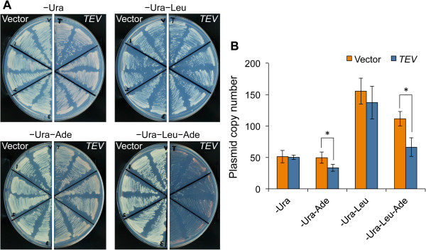 Evaluation of the lower limit of Ade2 using TIPI-gTOW. (A) Growth of the cells harboring GFP- TDegF ADE2 (YSM001) with the vector and the TEV plasmid on SC plates without the indicated amino acids. Six independent colonies of each strain were tested. (B) Copy numbers of the plasmids of GFP- TDegF ADE2 (YSM001) in SC medium without the indicated amino acids. Four independent measurements were performed, and the average is shown. The error bar indicates the standard deviation. *: p