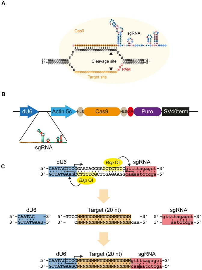 CRISPR/Cas9 expression system for Drosophila cell culture. (A) The CRISPR/Cas9 system adapted from S. pyogenes for inducing double strand breaks. The synthetic guide RNA (sgRNA) contains 20 nt complementarity to the target site within the DNA, and the RNA structure necessary for incorporation into the Cas9 protein. Cas9 is indicated by a yellow circle, cleavage sites by arrowheads and protospacer adjacent motif (PAM, NGG) required for cleavage in red. (B) Schematic of the expression vector. The sgRNA is produced from a Drosophila U6 promoter by RNA polymerase III, which produces an uncapped transcript. Human codon-optimised Cas9 mRNA (orange oval) containing N- and C-terminal SV40 nuclear localisation signals (grey ovals) is produced from the strong, constitutive actin5C promoter by RNA polymerase II as the first half of a bicistronic transcript with the puromycin N-acetyltransferase gene (purple oval). The two open reading frames are separated by a viral 2A ribosome skipping site (red oval) to allow bicistronic expression, and transcription is terminated by a polyadenylation signal from the SV40 virus. (C) Strategy for cloning of target oligos. Two Bsp QI sites (yellow) cause cleavage at the end of the U6 promoter (blue) and sgRNA backbone (red), leaving 3 nt 5′ overhangs. Transcription from the dU6 promoter begins with the indicated G nucleotide (arrow). Target oligos (orange) are designed to provide complementary overhangs flanking the 20 nt target sequence. If the target sequence does not begin with a G, this is appended to its 5′ end to reconstitute the G nucleotide required by the dU6 promoter (as indicated here). See also supplementary material Table S1 .