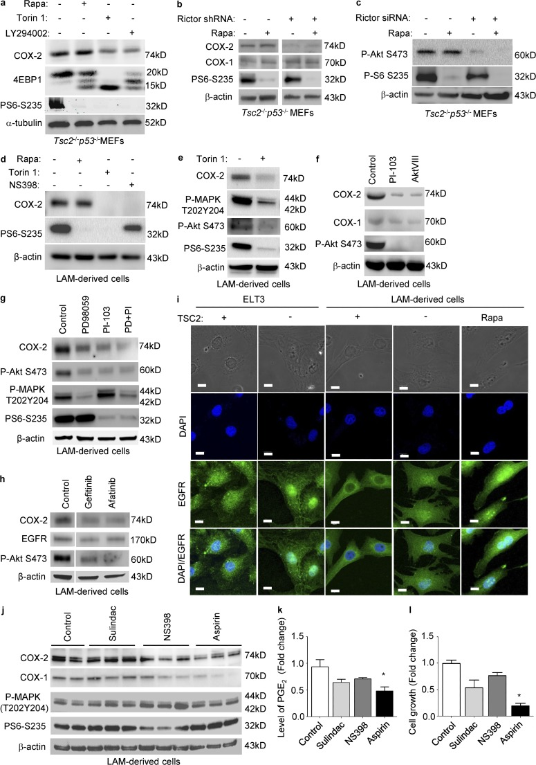 mTORC2 regulates COX-2 expression via PI3K–AKT pathway in TSC2-deficient cells. (a) Tsc2 −/− p53 −/− MEFs were treated with 20 nM rapamycin, 250 nM Torin 1, or 20 µM LY294002 for 24 h. Levels of COX-2, 4EBP1, and phospho-S6 (S235/236) were assessed by immunoblot. (b and c) Tsc2 −/− p53 −/− MEFs were transfected with Rictor shRNA or control shRNA, and then selected with puromycin to obtain stable cells. Control shRNA or with Rictor shRNA- Tsc2 −/− p53 −/− MEFs were treated with vehicle or 20 nM rapamycin for 24 h. Levels of COX-2, COX-1, phospho-S6 (S235/236), and phospho-Akt (S473) were assessed by immunoblot. (d) LAM patient–derived cells (TSC − ) cells were treated with 20 nM rapamycin, or 250 nM Torin 1, or 50 µM NS398 for 24 h. Levels of COX-2 and phospho-S6 (S235/236) were assessed by immunoblot. (e) TSC2-deficient LAM patient–derived cells were treated with 250 nM Torin 1 for 24 h. Levels of COX-2, phospho-p44/42–MAPK, phospho-Akt S473, and phospho-S6 (S235/236) were assessed by immunoblot. (f) TSC2-deficient LAM patient–derived cells were treated with 5 µM PI-103 or 5 µM AKTVIII for 24 h. Levels of COX-2 and phospho-Akt (S473) were assessed by immunoblot. (g) TSC2-deficient LAM patient–derived cells were treated with 50 µM PD98059, 5 µM PI-103, or PD98059 plus PI-103 for 24 h. Levels of COX-2, phospho-Akt S473, phospho-p44/42–MAPK, and phospho-S6 (S235/236) were assessed by immunoblot. (h) TSC2-deficient LAM patient–derived cells were treated with 1 µM Gefitinib or 1 µM Afatinib for 24 h. Levels of COX-2, EGFR, and phospho-Akt S473 were assessed by immunoblot. (i) ELT3 cells expressing empty vector (TSC − ) and TSC2-addback (TSC2 + ), or LAM patient–derived cells (TSC − ) cells and TSC2-addback cells (TSC2 + ) were treated with 20 nM rapamycin (Rapa) for 24 h. Subcellular localization of EGFR was examined using confocal microscopy. Bar, 10 µM. (j) Cells were treated with 50 µM Sulindac, 50 µM NS398, or 450 µM aspirin for 24 h. Levels of COX-1, COX-2, phospho-p44/42 MAPK, and phospho-S6 were assessed by immunoblot. (a–j) Results are representative of two to four different experiments. (k) PGE 2 levels from conditioned media were measured (ELISA). Results are representative of six sets of independent samples per group. (l) Cell proliferation after drug treatment was measured using MTT assay. Results are representative of 12 sets of independent samples per group. *, P