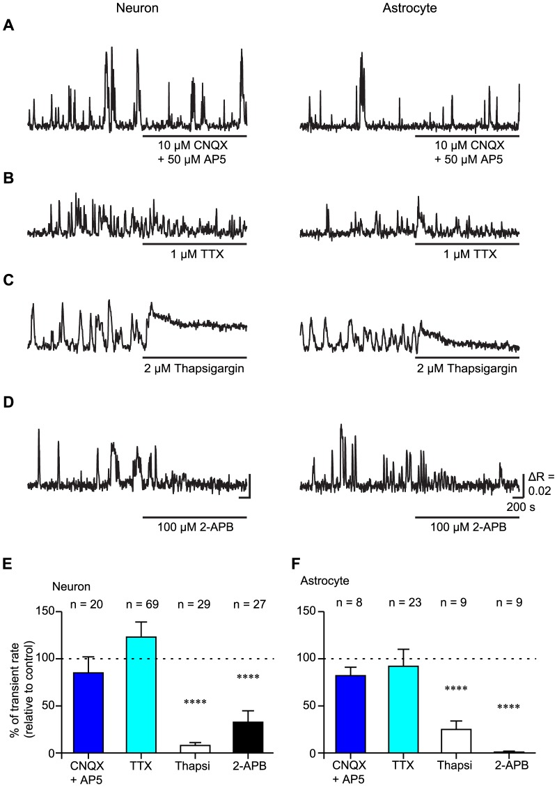 The slow Ca 2+ oscillations in both putative-neurons and astrocytes were mainly due to Ca 2+ release from the intracellular Ca 2+ store via the IP 3 receptor. A–D, Typical time courses of the slow Ca 2+ oscillations during the administration of 10 µM CNQX and 50 µM AP5 (CNQX + AP5), 1 µM TTX, 2 µM thapsigargin (Thapsi), and 100 µM 2-APB in putative-neurons and astrocytes. Horizontal bars under the time courses indicate the application period of the agents. Scale bar, 200 s, µR = 0.02. E, F, Transient rates of the slow Ca 2+ oscillations during the administration of various pharmacological agents in putative-neurons (E) and astrocytes (F). The transient rates of the slow Ca 2+ oscillations are normalized by the transient rates under control conditions. The number of cells recorded is shown above each bar graph. ****p