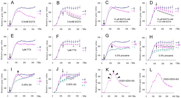 The effects of different treatments on the biophotonic activities in mouse coronal brain slices. ( A–D ) Removing extracellular Ca 2+ ( A and B , 0.5 mM EGTA, n = 6) or removing intra- and extracellular Ca 2+ together ( C and D , 10 µM BAPTA-AM+0.5 mM EGTA, n = 6) from the beginning of the application of 50 mM glutamate (pink line in A and C ). The changes were significant during the maintenance period ( B and D ). ( E, F ) 1 µM TTX had no influence on the initiation, but partly on the maintenance (pink line, n = 5). ( G, H ) Both initiation (green line, n = 5) and maintenance (pink line, n = 6) were significantly affected by 0.5% procaine. ( I, J ) Both initiation (green line, n = 6) and maintenance (pink line, n = 6) were significantly affected by 0.05% sodium azide (SA), but a recovery was found after long-lasting application. Arrows indicate the treatment at the beginning of the application of 50 mM glutamate in A , C , E , G and I and arrowheads mark the treatment that began after the achievement of the maximum effect in G and I . t: treated group; c: control group (blue line) is same in A–J (n = 6), i : the treatment together with application of glutamate (initiating period), m : the treatment during the maintenance period. Data show mean±s.e.m. n = the number of slices from the same number of mice. * treated group (corresponding color) versus control at the same time periods; + the maximum effect just before treatment versus the effects after (arrows in B , D , F , J ) in treated group. * or + P