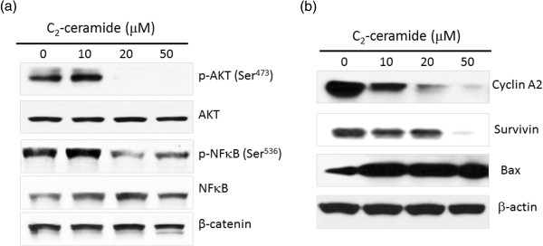 p-Akt and p-NFκB levels of C 2 -ceramide-treated H1299 lung cancer cells. Cells treated with different concentrations (0 to 50 μM) of C 2 -ceramide for 24 h. After treatment, the protein lysates were resolved by SDS-PAGE, transferred onto nitrocellulose membranes and probed with specific antibodies and detected signals using an enhanced chemiluminescence kit. (a) The changes of Akt and NFκB phosphorylation. (b) The changes of protein level of survivin, <t>cyclin</t> A2 and Bax. β-actin as an internal control.