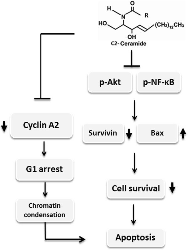 Schematic diagram of hypothesized mechanism of C 2 -ceramide-induced apoptosis of lung cancer cells. C 2 -ceramide inhibits the activity of both Akt and NF-κB, causing the down-regulation of pro-survival survivin and cell cycle promoter cyclin A2. On the contrary, C 2 -ceramide increases the protein level of pro-apoptotic Bax. As a result, C 2 -creamide treatment causes cell cycle G 1 arrest and chromatin condensation, subsequently, triggering the apoptosis of lung cancer cells.