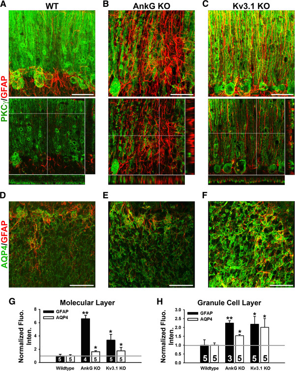 Upregulation of GFAP and AQP4 in the cerebellum in AnkG and Kv3.1 KO mice. A , High magnification image stacks of cerebellar molecular layer stained with anti-PKCγ (green) and anti-GFAP (red) antibodies. The collapsed 2D image is on the left, and 3 cross sections are on the right. B , Confocal image stacks from the AnkG KO mice. C , Confocal image stacks from the Kv3.1 KO mice. In (A,C) , the crossbars reveal radially oriented GFAP + Bergmann glial processes in (A) WT and (C) Kv3.1 KO mice. In (B) , the crossbars are centered on highly upregulated GFAP + astrocyte processes in the absence of Purkinje neurons in an AnkG KO mouse. D , A single confocal image of the granule cell layer in a WT mouse. E , An image from the AnkG KO mice. F , An image from the Kv3.1 KO mice. G , Normalized fluorescence intensity in the molecular layer. H , Normalized fluorescence intensity in the granule cell layer. (G, H) One-Way ANOVA followed by Fisher's test. *, significant difference from Wildtype for each antibody, p