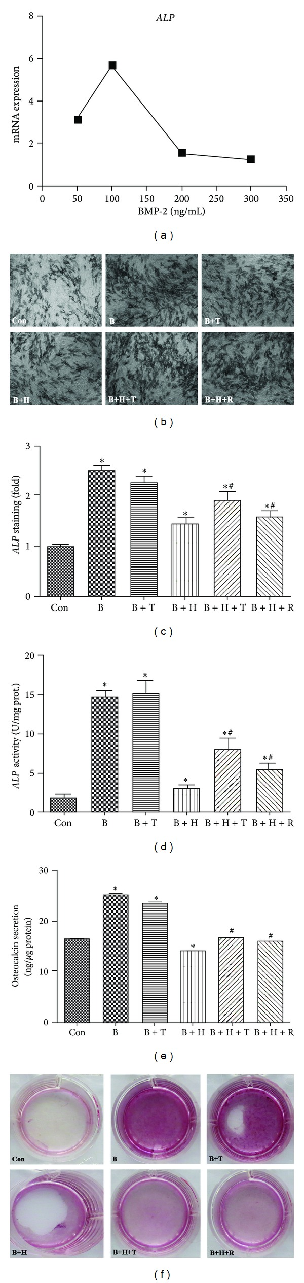 Tanshinol counteracts inhibitory effect of oxidative stress on osteoblastic differentiation. (a) C2C12 cells were treated with increasing concentrations of BMP-2 for 24 h to determine the optimal concentration using qRT-PCR. Cells were cotreated with BMP-2 (100 ng/mL) and Tanshinol (1 μ M) or Resveratrol (1 μ M) in the presence or absence of H 2 O 2 (200 μ M), and determinations were made as follows. (b) Cells were stained using ALP staining Kit, and (c) the percentage of positively stained cell populations was counted by Image J software to analyse the extent of osteoblastic differentiation at day 3; (d) ALP activity in the cell lysates and (e) osteocalcin secretion in the supernatant of media were measured by ALP Assay Kit and ELISA Kit at day 3, respectively; (f) mineralization activity with the indicated treatments was stained using alizarin red S at day 10. Note: (1) Con (vehicle control); (2) B (BMP-2); (3) B + T (BMP-2 + Tanshinol); (4) B + H (BMP-2 + H 2 O 2 ); (5) B + H + T (BMP-2 + H 2 O 2 + Tanshinol); (6) B + H + R (BMP-2 + H 2 O 2 + Resveratrol). Data shown are the mean ± SEM of at least three independent experiments. * P