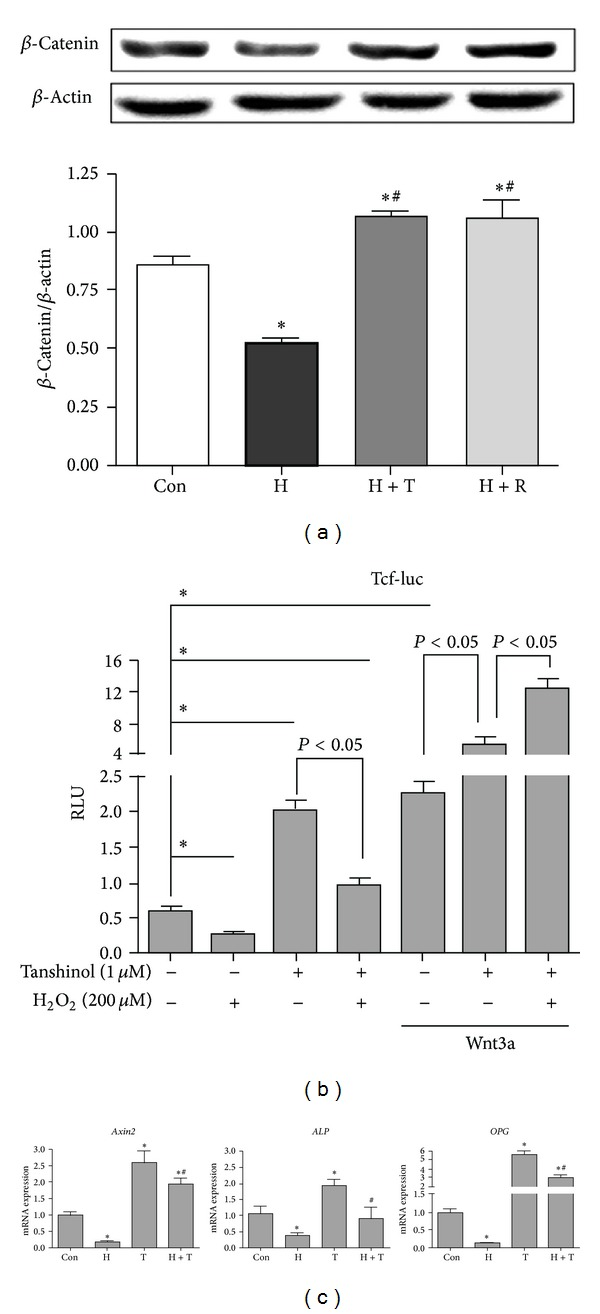 """Tanshinol rescues oxidative stress-elicited inhibition of Wnt/ β -catenin signaling. (a) C2C12 cells were treated as described in Figure 4 , and protein levels of β -catenin were detected by Western Blot. Representative immunoblots were shown in upper panel. Quantitative results of relative band intensities of protein are showed in lower panel. (b) C2C12 cells were transfected with the Tcf-luc reporter plasmid or negative control. Cells transfected were treated with or without Tanshinol in the presence or absence of Wnt3a for 1 h, followed by vehicle control, H 2 O 2 for 24 h. Luciferase activity assays were explored as described under """" Section 2 """". The data represent mean ± SEM of luciferase relative luminescence units (RLU) normalized to corresponding Renilla luciferase activity (triplicates). (c) C2C12 cells were treated as described in Figure 4 , and the expression levels of Axin2 , ALP , and OPG mRNA were quantified by qRT-PCR and normalized to GADPH mRNA. Note: (1) Con (vehicle control); (2) H (H 2 O 2 ); (3) T (Tanshinol); (4) H + T (H 2 O 2 + Tanshinol); (5) H + R (H 2 O 2 + Resveratrol). Error bars indicate mean ± SEM of at least three independent experiments. * P"""