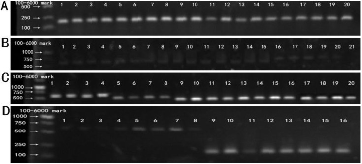 RT-PCR products of five recombinant plasmids. M: 100-6000 bp DNA Marker. (A) Lane 1-20 showed the RT-PCR results of BxPC-3 cells tranfected with five recombinant plasmids (Mu0, Mu1, Mu2, Mu3,Mu4) at 12 h, 24 h, 36 h, 48 h respectively, using the primer of β-actin. (B) Lane 1-20 showed the RT-PCR results of BxPC-3 cells tranfected with five recombinant plasmids (Mu0, Mu1, Mu2, Mu3, Mu4) at 12 h, 24 h, 36 h, 48 h respectively, using the primer of hIL-18 full length. Lane 21 is negative control. (C) Lane1-20 showed the RT-PCR results of BxPC-3 cells tranfected with five recombinant plasmids (Mu0, Mu1, Mu2, Mu3, Mu4) at 12 h, 24 h, 36 h, 48 h respectively, using the original primers. (D) Control. Lane 1-4 and lane 5-8 showed RT-PCR results of BxPC-3 cells tranfected with pEGFP-C1 and untreated BxPC-3 cells cultivated at 12 h, 24 h, 36 h, 48 h respectively, using the primer of hIL-18 full length. Lane 9-12 and lane 13-16 showed RT-PCR results of BxPC-3 cells with the same treatment (according to Lane 1-4 and 5-8) using the primer of β-actin.