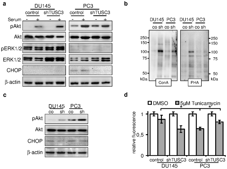 TUSC3 loss leads to increased viability, N-glycosylation and Akt signaling. (a) shTUSC3 and control cells were serum starved for 36 hours (−) and serum was added for 30 minutes before lysis (+). PI3K/Akt and MAPK signaling pathway were evaluated by immunoblotting. Increased downstream activation of Akt can be observed in serum starved TUSC3 silenced PC3 cells as well as in DU145 cells after stimulation with serum. ER stress and CHOP are induced by prolonged serum starvation (lane 5 and 6) in PC3 cells. Loss of TUSC3 decreases CHOP levels in PC3 cells (lane 7 and 8). (b) Increased N-glycosylation in shTUSC3 cells. Lectin blotting using Concanavalin A and Phytohaemagglutinin-L lectins on isolated cell surface proteins was performed in cell membrane fractions of PC3 and DU145 cells following 72 h serum starvation. Control for protein loading was performed by amido black staining ( Supplementary Figure S2C ). (c) DU145 and PC3 prostate cancer cell lines were serum starved for 72 hours before lysis. Silencing of TUSC3 (sh) leads to sustained phosphorylation of Akt and decreased expression of CHOP in both cell lines. (d) Viability of TUSC3 silenced (shTUSC3) and control (scrambled shRNA) prostate cancer cells was assessed with the CellTiter-Blue® Assay after treatment with 5 μM tunicamycin or DMSO for 72 hours in full medium. Experiments were performed in triplicates and results are representative of several independent experiments. * p = 0.01.