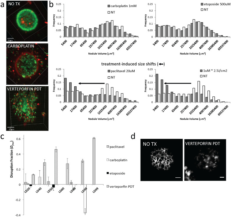 """Contrasting quantitative reporters of cytotoxic and structural response. In (a) high-resolution 3D confocal renderings of single nodules from no treatment, carboplatin and verteporfin-PDT are shown from top to bottom to provide qualitative assessment of contrasting patterns of cytotoxic response. Scale bars = 50 μm. In (b), log-normal bi-modal nodule volume distributions show contrasting patterns between with little evidence of disruption (upper plots, given doses of etoposide and carboplatin) and treatments which with appropriate dosage appear to have a propensity to """"unpack"""" multicellular nodules (lower plots, paclitaxel and PDT). Each histogram contains statistics on 1,000–3,000 micronodules. In the latter category there is a shift in the bimodal size distribution from the proportion of nodules in the mode corresponding to larger sizes to smaller sizes consistent with larger nodules being induced to disaggregate into an increased number of small nodules. In (c), disruption fraction, ( D frac ) based on the treatment-induced shifts in size from (B), is reported with respect to the degree of lethality for several dose for each treatment tested. Error bars show standard error. Verteporfin-PDT induces high D frac at low lethality while carboplatin and etoposide treatments suppresses viability at very high doses with negligible architectural disruption. Paclitaxel also unpacks nodules but requires higher level of cell killing in order to do so. In (d), immunofluorescence images show a clear contrast between strong E-cadherin staining at cadherens junctions in untreated nodules, with disrupted and punctate intracellular staining in PDT-treated nodules, consistent with the observation of cellular disassociation."""