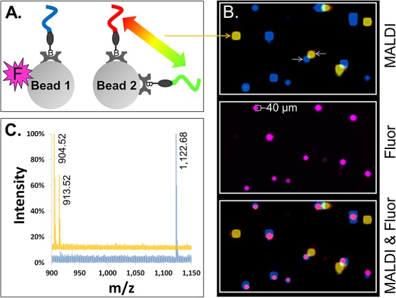 MALDI-MSI imaging of single beads carrying photocleavable peptide Mass-Tags. (A) Two species of 30 µm streptavidin glass beads were prepared, pooled and used to form a two-dimensionally ordered, random bead-array. 'Bead 1' carried a single photocleavable biotin peptide Mass-Tag (blue) and a fluorophore (magenta 'F'). 'Bead 2' carried two different photocleavable biotin peptide Mass-Tags (red and green) but no fluorophore. (B) ('MALDI') Color-coded MALDI-MSI image of a 1360 by 800 µm 2 region of the bead-array. Co-localization of the red and green Mass-Tags on Bead 2 appears as yellow. ('Fluor') Fluorescence image of same region of the bead-array, showing Bead 1. ('MALDI Fluor') Synchronized MALDI-MSI and fluorescence images showing co-localization of the fluorescence marker on Bead 1 (magenta) with the expected Mass-Tag (blue). (C) Color-coded MALDI spectra are shown from the center pixel of representative beads (the beads indicated by white arrows in (B)). The blue spectrum is from Bead 1 and yellow from Bead 2. Observed monoisotopic masses of the Mass-Tags are labeled in the spectra (note that while the scaling of the spectra does not allow visual discrimination of the natural isotopes of each Mass-Tag, separated by 1 m/z , they are resolved; for example, see Fig. 4 (B) 'x-Axis Expansion' inset).