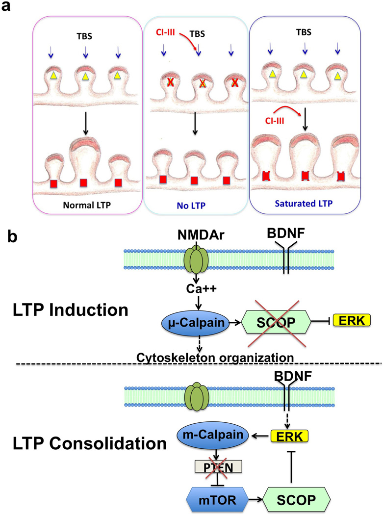 Schematic representation of the functions of µ- and m-calpain in LTP induction and consolidation a . µ-calpain activation is necessary for synaptic potentiation during LTP induction, and its inhibition prevents LTP (middle panel). m-calpain activation during consolidation limits the extent of synaptic potentiation and its inhibition results in enhanced LTP (right panel). µ-calpain activation is indicated by yellow triangles and m-calpain by red squares. Calpain inhibitor III (CI–III) application is indicated by red arrows. Note that we also postulate that µ-calpain and m-calpain are differentially localized in synapses. b . Signaling pathways downstream of µ- and m- calpain in LTP induction and consolidation. In LTP induction, µ-calpain activation, possibly resulting from Ca 2+ influx through the NMDA receptors, results in <t>SCOP</t> truncation followed by <t>ERK</t> activation. In the consolidation period, m-calpain activation, possibly resulting from BDNF-mediated ERK activation 13 stimulates mTOR-dependent protein synthesis through calpain-mediated PTEN degradation 14 , and in particular SCOP synthesis, which would restore normal SCOP levels, thereby preventing ERK activation.