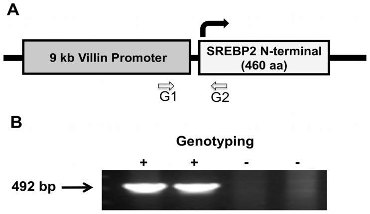 Generation of intestine-specific active SREBP2 mice. The coding sequence for the N-terminal of SREBP2 (representing the active transcription factor) was cloned down-stream of villin promoter. A : A schematic representation of the transgene and the location of the G1 and G2 primers used for genotyping and the identification of positive transgenic mice (designated as ISR2) B : A representative of genotyping results showing the expected amplified PCR fragment from genomic DNA extracted from ISR2 mice (+) but not their wild type littermates (−).