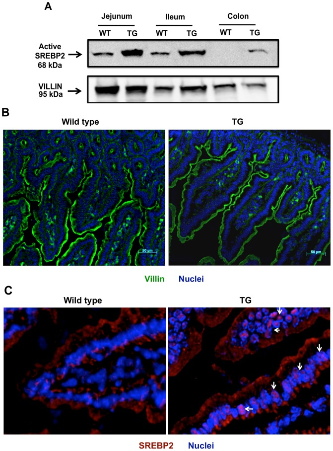 Distribution of active SREBP2 in ISR2 mice. Total protein lysates were prepared form intestinal mucosal scraping as mentioned in Materials and Methods . A : A representative blot depicting the bands for active SREBP2 in ISR2 mice and their wild type littermates. Villin was used as a loading control. B : Villin staining (green) of the jejunum showing similar epithelial structure in ISR2 and wild type mice. C : immuno fluorescence staining of SREBP2 in jejunum of ISR2 and wild type mice. SREBP2 is stained with red and the nuclei with blue. The figure shows predominant cytoplasmic staining in wild type mice and increased colocalization of SREBP2 with the nuclei in ISR2 mice (white arrow).