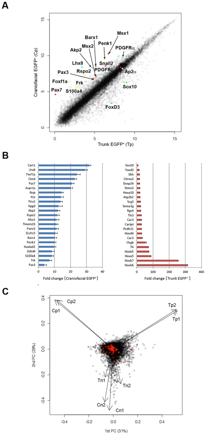 Differential expression profiles of cNCCs and tNCCs in P0-Cre/Floxed-EGFP mouse embryos. (A) Scatter plot of Craniofacial EGFP + cells (Cp) and Trunk EGFP + cells (Tp) as assessed by microarray analysis (3D-Gene; Toray Industries). (B) Most up-regulated genes in Craniofacial EGFP + cells (blue) and Trunk EGFP + cells (red), compared with those in the EGFP + cells of trunk and craniofacial regions, respectively. (C) Biplot of principal component analysis of the eight samples revealed three sample groups. Black dots indicate all genes and red dots indicate known stem cell genes selected from GO annotations. Cp, Tp, Cn; craniofacial EGFP − cells, and Tn; trunk EGFP − cells.