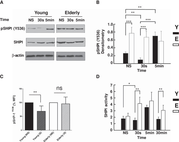 Western blot analysis of the levels of (active) tyrosine-phosphorylated (Y536) SHP-1. (A) Purified T cells of young and elderly donors were left non-stimulated (NS) or exposed to a mixture of anti-CD3 and <t>anti-CD28</t> (5 μg/ml each) mAbs for 30 s or 5 min, as indicated. Cell lysates were sized by SDS-PAGE under reducing conditions, electrotransfered to nitrocellulose membranes and proteins revealed using an anti-Y536 SHP-1 mAb and the chemiluminescence technique. β-Actin was used as control of gel loading. The protein transferred to nitrocellulose membranes were stained with Ponceau to verify that similar amounts of protein had been loaded in each lane. (B) Semi-quantitative densitometric analysis of protein bands of young (filled columns) and elderly (empty columns) donors reported in arbitrary units. Data are represented as the mean ± SD and are representative of one of 20 independent experiments. (C) Flow cytometry measurements of pSHP-1-Y536 MFI in T cells of young and elderly subjects at non-stimulated (NS) and stimulated for 30 seconds (S) states as decribed in the Materials and Methods section. The non-stimulated is normalized as 100% and significant difference is shown by **, p