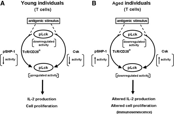Minimal model summarizing the roles of SHP-1 and PAG in negative regulation of T cell response in aging. A) The model proposes that in T cells o f young individuals, ligation of the TCR and CD28 leads to activation (TCR/CD28 * ) and concomitant up-regulation of Lck activity resulting from dephosphorylation of Y505, subsequent release of self-inhibition and activation following autophosphorylation at position Y394. Activation of pLck leads to phosphorylation of ITAM motifs of CD3 and the ζ homodimer, triggering the early events of signal transduction. Data reported here showed that the activity of pSHP-1 in T cells of young subjects was transiently low following T cell activation, whereas pPAG transiently migrated out of lipid rafts. These combined events would favor maintaining upregulation of Lck activity which would fulfill the requirements of Signal 1 of T cell activation. Initiation of the Signal 2 leads to full T cell response. B) A similar series of events occurs in T cells of elderly individuals. However, data reported here showed that the activity of pSHP-1 was sustained in these cells and that pPAG was retained in lipid rafts thus contributing to sustained elevated Csk activity. These combined events would lead to lowered activity of pLck, a decrease of the strength of Signal 1 and, an overall decrease of T cell activation. These conditions lead to a diminished T cell response that contributes to immunosenescence.
