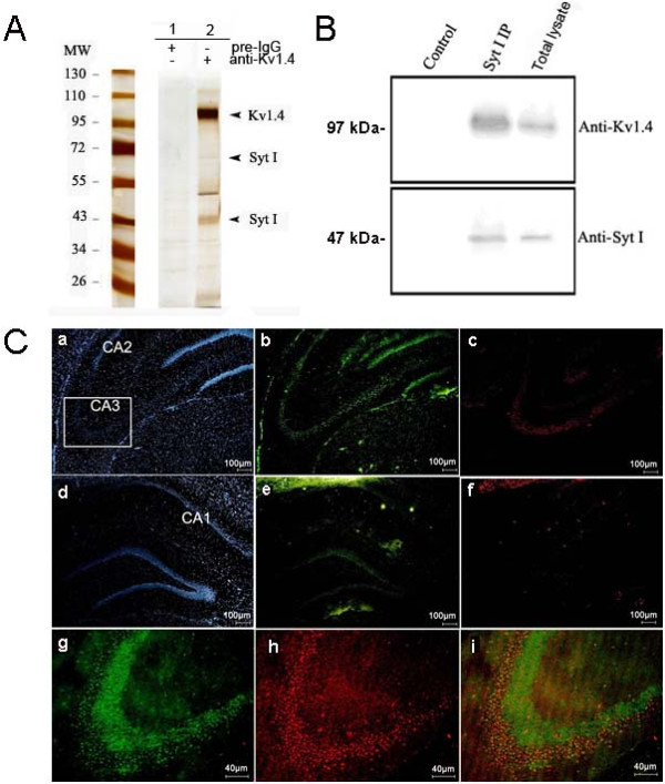 Validation of interaction between synaptotagmin I and Kv1.4 channel. (A) Silver-stained SDS-PAGE of the protein complexes affinity purified from rat hippocampal plasma membrane-enriched fraction either with a Kv1.4-specific antibody (anti-Kv1.4) or a preimmunisation IgG pool (Pre-IgG). Arrowheads denote the bands identified by nano-LC tandem mass spectrometry as Kv1.4 and synaptotagmin I, respectively. (B) Western blot showing reverse purification of Kv1.4 from the same fraction with anti-synaptotagmin I. (C) Immunohistochemical analysis of the colocalization of synaptotagmin I and Kv1.4 in rat hippocampus. (a)-(c) show the localizations of pyramidal cell nuclei, Kv1.4 and synaptotagmin I in the CA2- CA3 regions, respectively. (d)-(f) show the localizations of pyramidal cell nuclei, Kv1.4 and synaptotagmin I in the CA1 region and denote gyrus, respectively. (g)-(i) are the enlarged images of CA3 region showing the localizations of Kv1.4 (g), synaptotagmin I (h) and their colocalization (i) in this region.