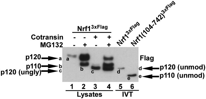 Different forms of Nrf1. HEK-293 cells stably expressing wild-type Nrf1 3×Flag were treated with MG132 and/or cotransin, an inhibitor of protein insertion into the Sec61 translocation channel ( Garrison et al., 2005 ) as indicated (lanes 1 to 4) and total cell lysates were prepared. Lanes 5 and 6 contain full-length Nrf1 3×Flag and Nrf1(104-742) 3×Flag that were translated in vitro (IVT) in rabbit reticulocyte lysate in the absence of membranes. The HEK293 cell lysates and IVT reactions were examined by SDS-PAGE followed by immunoblotting with anti-Flag antibody. Different Nrf1 species are shown (ungly–unglycosylated; unmod–unmodified). Nrf1 p120 (species 'a') was converted to species 'c', which comigrated with the primary translation product (species 'd') upon expression in cells treated with cotransin, suggesting that the slow mobility of p120 arose from modifications (e.g., N-linked glycosylation) that occurred within the endoplasmic reticulum. Retrotranslocation and processing of p120 (species 'a') yielded p110 (species 'b'). Species 'b' was not sensitive to endoglycosidase H ( Figure 4E ), suggesting that it was deglycosylated upon retrotranslocation into the cytosol. Nevertheless, species 'b' migrated considerably more slowly than the primary translation product for Nrf1(104-742) 3×Flag (species 'e'), indicating that p110 must carry additional modifications that remain uncharacterized. Please note that deglycosylation by cytosolic enzymes converts the Asn at the site of glycosylation to Asp, which could influence migration on SDS-PAGE. DOI: http://dx.doi.org/10.7554/eLife.01856.007