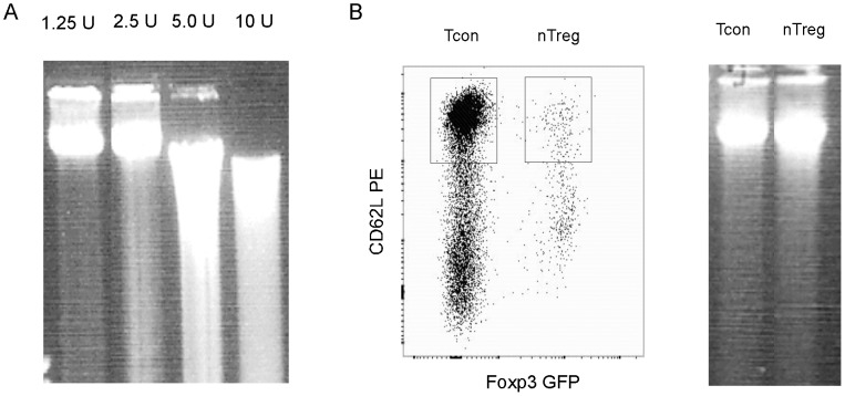 DNase I treatment of nuclei. A. Nuclei isolated from 2×10 5 total CD4 T cells were treated with the indicated amounts of DNase I. After the treatment, the nuclei were embedded in low-melt agarose gel. Genomic DNA was in-gel purified then released from the gel plug and electrophoresed on a 0.7% agarose gel. B. Left panel shows the isolation of naïve CD4 Tcon cells and nTreg cells by FACS. In the right panel, the nuclei from the isolated cells were treated with 1.25 units of DNase I. In-gel purified genomic DNA was analysed as in A.