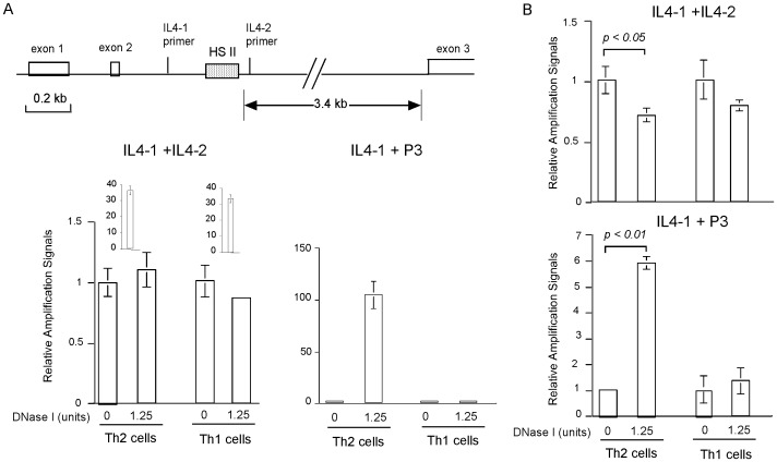 Detection of the HS II site of the IL-4 gene in Th2 and Th1 cells. A. Detection of HS II site using DHS libraries as templates. Upper panel shows the positions of the HS II site and the PCR primers at the IL-4 gene locus. The lower panel shows real-time PCR results using DHS libraries as templates and the indicated primer pairs. B. Detection of the HS II site using unpurified DNA as templates. Adaptor-ligated high-molecular-weight DNA derived from nuclei of Th2 and Th1 cells with or without DNase I digestion were used as templates in real-time PCR. Results with the indicated primer pair are shown. In all panels of the figure, relative amplification signals were determined by comparing to that of DNase I-undigested samples of the respective cell type.