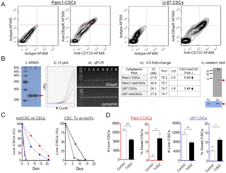 DEspR expression and roles in Panc1-CSCs and U87-CSCs. (A) FACS analysis of anchorage-independent Panc1-CSCs and U87-CSCs comparing control double isotype immunophenotyping (IgG2b-AF568 for 7c5b2 and IgG1-AF488 for CD133) with double anti-DEspR-AF568 and anti-CD133-AF488 immunophenotyping. (B) B-i. ARMS assay specific for spliced DEspR-RNA 270-bp amplicon (red arrow) spanning the spliced exon-to-exon junction ( Figure S4B ,C) confirms presence of spliced DEspR-RNA in Panc1 (lane 1) and U87 (lane 2) CSCs. B-ii. Quantitative RT-PCR Ct plot. B-iii. Corresponding agarose-gel size fractionation of RT-PCR products demonstrating expected-size DEspR-specific 88-bp amplicon, and control cyclophilin-specific 145-bp amplicon band. DNA size standards: 50-bp DNA ladder). B-iv. Calculation of qRT-PCR ΔCt fold-change in both Panc1- and U87-anchorage independent CSCs. B-v. Western blot analysis detects predicted ∼10 kDa DEspR protein (red arrow) in membrane proteins isolated from U87 CSCs in three independent experimental conditions: 1X, 1∶100 anti-DEspR ab-dilution in two different detection systems; 2X, 1∶50 dilution of anti-DEspR mAb in ECL detection system. (C) Analysis of survival in adverse conditions comparing Panc1- (red open circle) and U87- (blue open square) nonCSCs with quinary CSCs: Panc1 (red circle) and U87 (blue square). Analysis of effects of anti-DEspR (7c5b2) treatment on U87-CSC survival measured as %-live CSCs comparing quinary 7c5b2-treated U87-CSCs (black open circle) and control non-treated U87-CSCs (black circle) in identical adverse conditions. (D) Analysis of effects of DEspR-inhibition on Panc1- and U87-CSC survival in suspension culture at physiological conditions measured as number of live cells and % dead cells comparing quinary anchorage-independent 7c5b2-treated CSCs (black bars) and control non-treated CSCs (white bars). ANOVA P