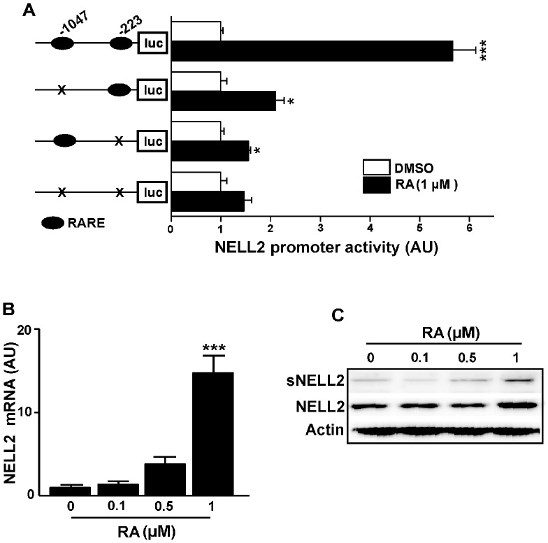 Retinoic acid (RA) activates m NELL2 promoter activity and expression of endogenous NELL2 mRNA and protein in P19 cells. (A) To determine the effects of RA on m NELL2 promoter activity, a 1.3 kb m NELL2 promoter-luciferase (luc) reporter construct was transfected into the P19 cells, and the luciferase activity was determined 24 h after the RA treatment. (B) Real-time PCR analysis showing the change in endogenous NELL2 mRNA expression by RA treatment. (C) Western blot analysis to determine changes in RA-induced NELL2 expression. High concentration (1 µM) of RA increased intracellular NELL2 or secreted NELL2 (sNELL2). All experiments were repeated at least four times and data are presented as mean ± SEM. *, p