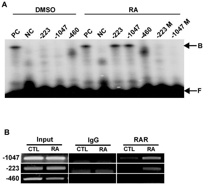 EMSA and ChIP assays. EMSAs were performed using double-stranded oligomer probes containing the putative half-RAREs found in the m NELL2 promoter sequence. (A) Autoradiogram showing binding activity of half-RAREs derived from the m NELL2 promoter to the nuclear extracts from P19 cells treated with RA (1 µM). Numbers on the gel images indicate the sites in the m NELL2 promoter sequence where the oligomer probes were designed; M following the numbers means that the indicted probes bear a mutation in the half-RARE sites. B, protein-bound DNA; F, free DNA; PC, a positive control palindromic RARE; NC, a negative control of mutant RARE. (B) ChIP assays using DNA precipitated by using RAR antibodies. The immunoprecipitated DNA from P19 cells treated with RA or DMSO was PCR-amplified using primer sets designed to detect m NELL2 promoter fragments including the two half-RARE sequences (at −223 and −1047). Input represents the used DNA extracted from the P19 cells before immunoprecipitation. Normal rabbit IgG was included for immunoprecipitation in the assay as a negative control.