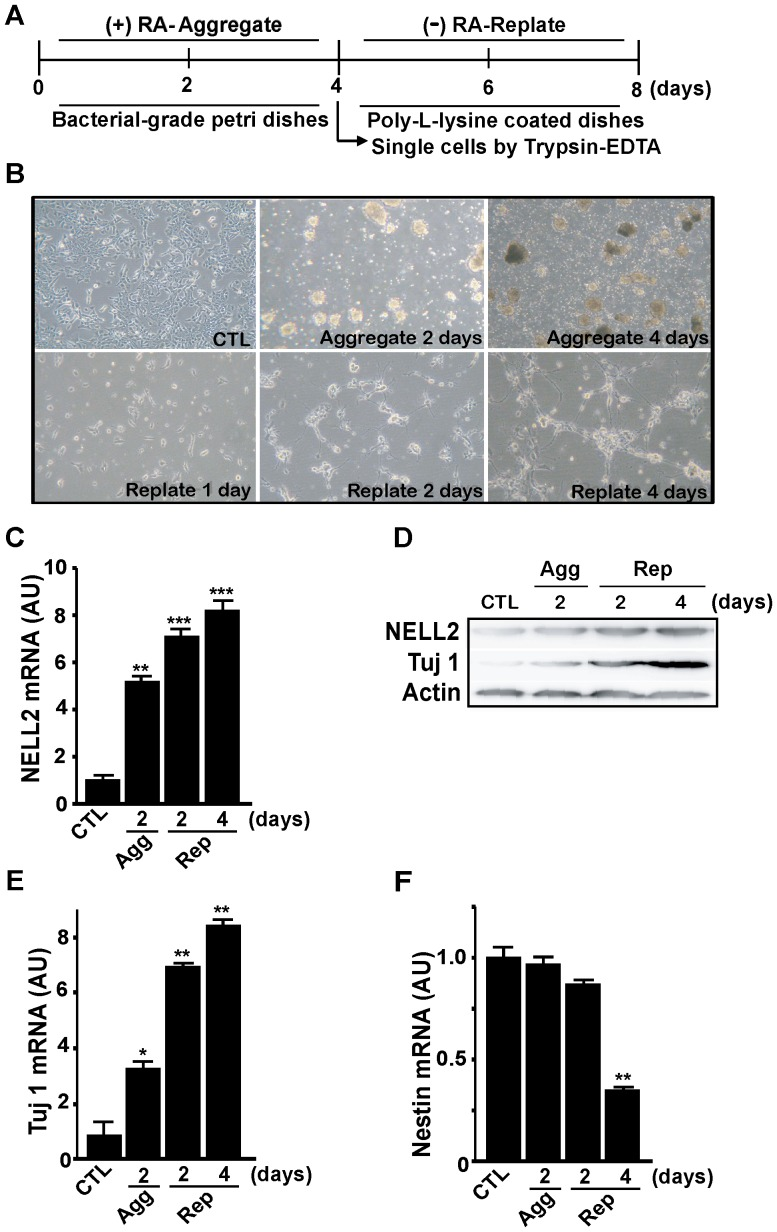 Change in NELL2 expression during the RA-induced neuronal differentiation of P19 cells. (A) General scheme for the neuronal differentiation process in this study. P19 cells were aggregated for 4 days with 1 µM RA treatment, and the aggregates were harvested and replated as the single-cell suspension and cultured without RA for 4 days. (B) Representative photos showing morphological changes in P19 cells during the neuronal differentiation process. Cells show aggregated morphologies as embryonic bodies at 2 and 4 days of aggregation, and reveal bipolar shapes with processes at 2 and 4 days after replating. Control (CTL) represents 2 days of aggregation without any treatment. (C, E, F) Real-time PCR analysis of NELL2 (C), Tuj-1 (E) and Nestin (F) mRNA expression in the P19 cells during the process of aggregation and replating. Agg, aggregation; Rep, replating; AU, arbitrary units. All experiments were repeated at least four times and data are presented as mean ± SEM. *, p