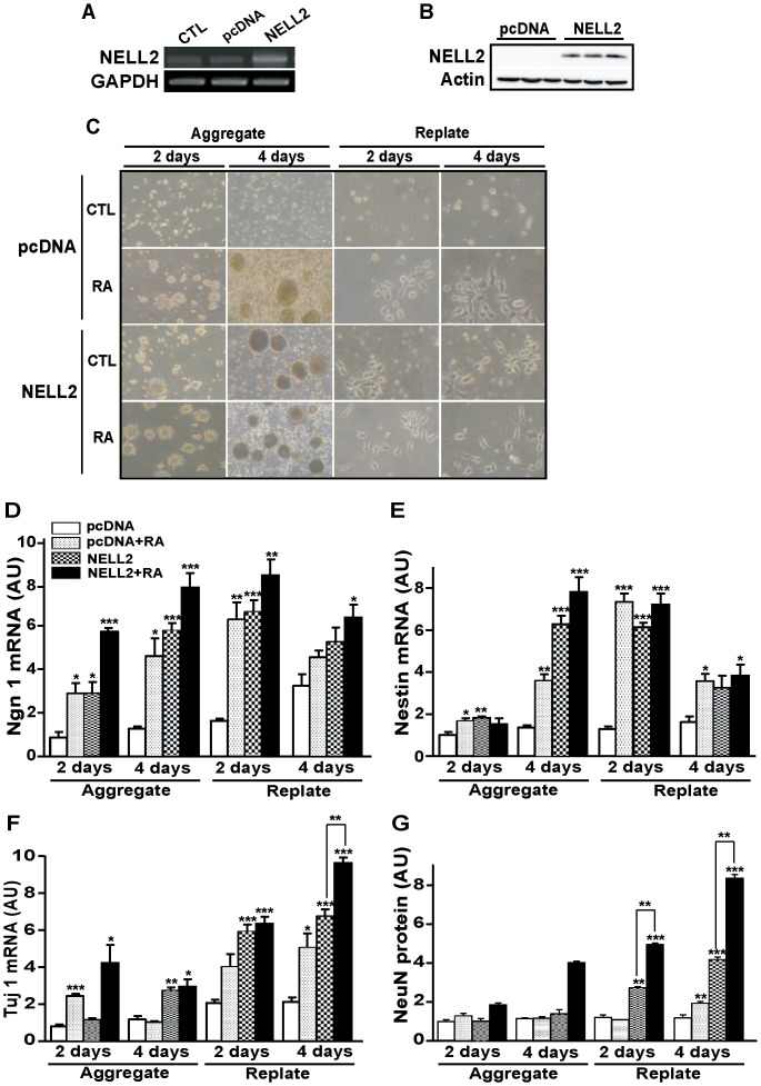 NELL2 promotes neuronal differentiation of P19 cells. (A) Overexpression of NELL2 in P19 cells permanently transfected with NELL2 expression vectors confirmed by RT-PCR using RNA extracted from the cells. CTL, control cells; pcDNA, cells transfected with control pcDNA vectors; NELL2, cells transfected with NELL2 expression vectors. (B). Western blot analysis for overexpression of NELL2 protein in the P19 cells permanently transfected with NELL2 expression vectors. (C) Representative photograms showing the morphological changes of P19 cells by overexpression of the NELL2 expression vectors with or without the treatment of RA (1 µM). (D–F) Real-time PCR analysis of Ngn-1 (D), Nestin (E) and Tuj-1 (F) mRNA expression in the P19 cells overexpressing NELL2 during the aggregation and replating process of the neuronal differentiation. RNA samples were collected from P19 cells with the indicated treatment at 2 and 4 days after aggregation and replating. (G) Western blot analysis of NeuN protein expression in P19 cells during aggregation and replating processes. All experiments were repeated at least four times and data are presented as mean ± SEM. *, p