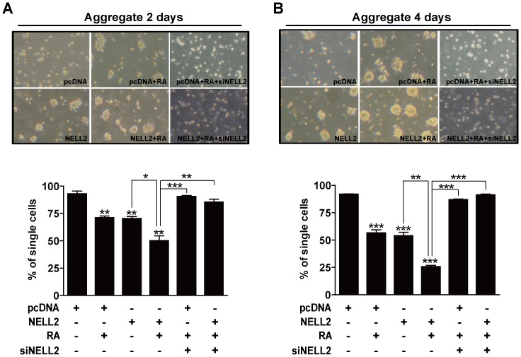 NELL2 promotes aggregation of P19 cells. P19 cells permanently transfected with NELL2 expression vectors were cultured in the presence or absence of 1 µM RA for 2 (A) or 4 (B) days. To knock down NELL2 synthesis, the indicated groups of P19 cells were transfected with siRNA against NELL2 mRNA (siNELL2). Each upper panel reveals representative photos and the lower panel includes results showing difference in single cell numbers among treatment groups. All experiments were repeated at least four times and data are presented as mean ± SEM. *, p