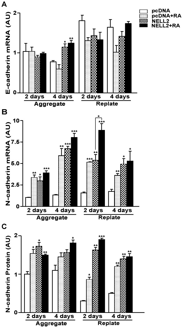 Effect of NELL2 on the N-cadherin expression in P19 cells. (A, B) Real-time PCR analysis of E-cadherin (A) and N-cadherin (B) mRNA expression in the P19 cells expressing NELL2 with or without treatment of RA, as indicated. For real-time PCR analysis, RNA samples were harvested from the cells at 2 and 4 days after aggregation and replating. (C) Data showing changes in N-cadherin protein expression calculated from Western blot analysis of samples collected at the aggregation and replating processes of neuronal differentiation of P19 cells. All experiments were repeated at least four times and data are presented as mean ± SEM. *, p