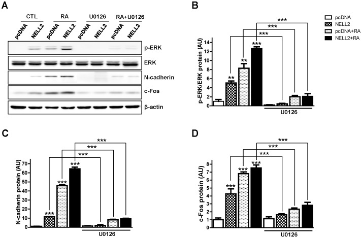 NELL2 regulates N-cadherin expression through the ERK signaling. P19 cells permanently transfected with NELL2 expression vectors were treated with 5 µM U0126 (a MEK inhibitor) in the presence or absence of 1 µM RA for 4 days. (A) Representative Western blots showing effect of U0126 on the ERK phosphorylation and N-cadherin and c-Fos expression. (B–D) Data showing the U0126-induced changes in phosphorylation of ERK (B) and expression of N-cadherin (C) and c-Fos (D), calculated from Western blot analyses. All experiments were repeated at least four times and data are presented as mean ± SEM. *, p